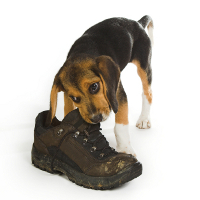 puppy chewing ona boot