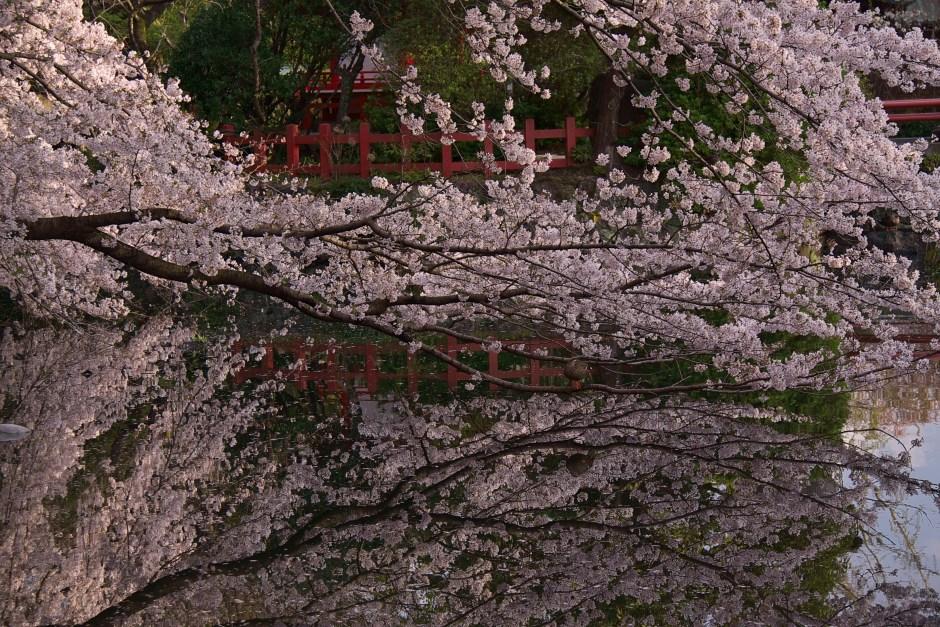 桜 三嶋大社/Sakura Mishima Taisha Shrine