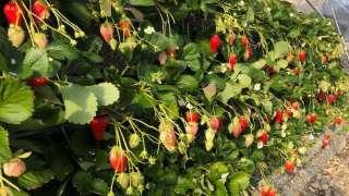 -Strawberry Field-  ISHIGAKI Strawberry Picking at KUNOU coastline!