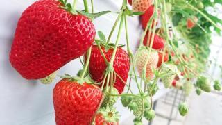 -Akazukin Farm- An Enjoyable FARM with Seasonal Harvest Delight!