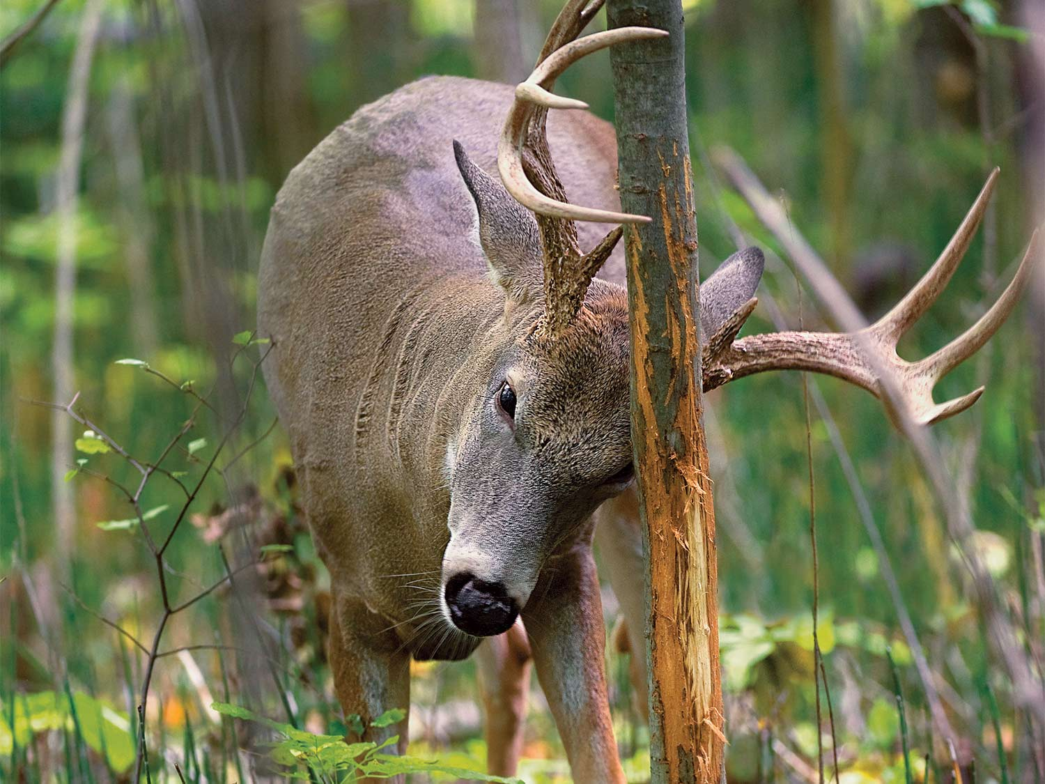 hunt whitetail deer on a staging area