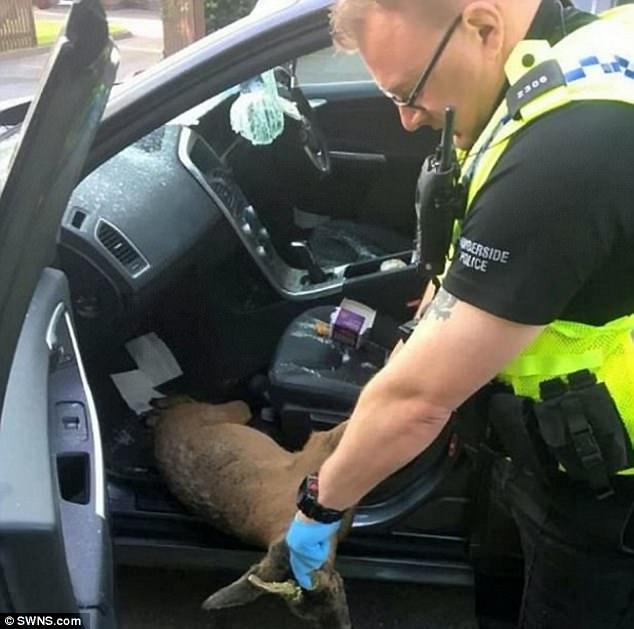 Deer through windscreen