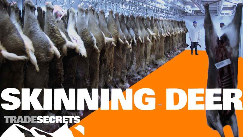 Skinning-deer photo