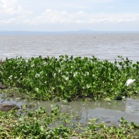 Invasive water hyacinths turned into a resource