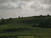 des moutons qui ressemblent drôlement à des vaches