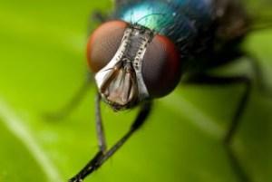 Καθόλου αθώες οι μύγες – Κουβαλάνε εκατοντάδες μικρόβια και βοηθάνε στην εξάπλωση ασθενειών
