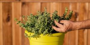 Καλλιέργεια και φροντίδα ρίγανης σε γλάστρα