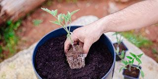 Φυτέψτε ντοματίνια σε γλάστρα