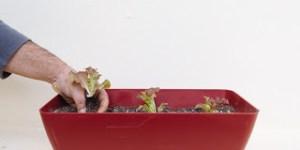Φυτεύουμε λόλες στο μπαλκόνι