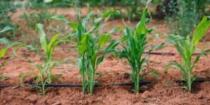 Πέντε μυστικά για καλλιέργεια καλαμποκιού