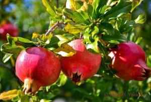 Ροδιά: Καλλιέργεια, ποικιλίες και ευεργετικές ιδιότητες