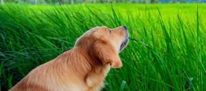 Γιατί οι σκύλοι τρώνε γρασίδι;