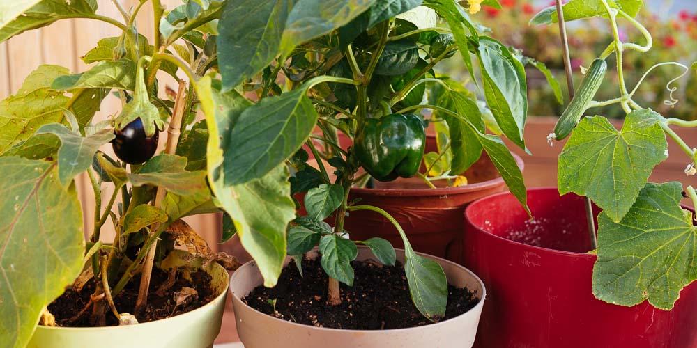 Read more about the article 7 μυστικά για καλλιέργεια λαχανικών σε γλάστρα