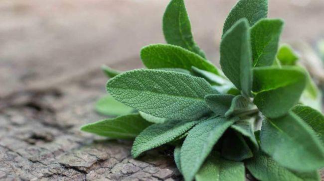 Φασκόμηλο: Το «ελληνικό τσάι» με πλούσια οφέλη
