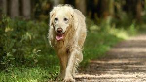 Γιατί οι μεγαλόσωμοι σκύλοι ζουν λιγότερο;