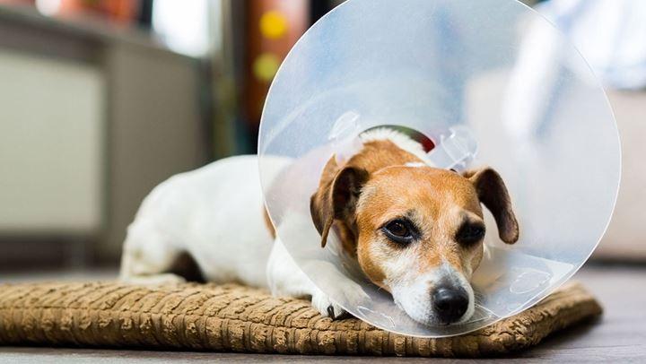 Η διατροφή του σκύλου μετά το χειρουργείο