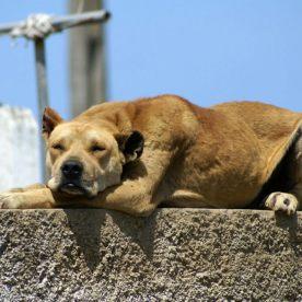 """unbekannter Hund. Verhält sich genetisch wie der vorherige, nur ist seine Grundfarbe gelb. Züchter berichten, dass sie immer wieder """"einfarbige"""" Hund hätten, sie sind häufig """"Honig-farben mit Maske"""""""
