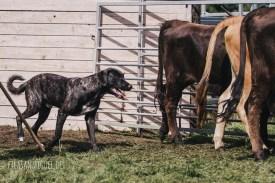 mit viel Ruhe kann man die Rinder ruhig bewegen