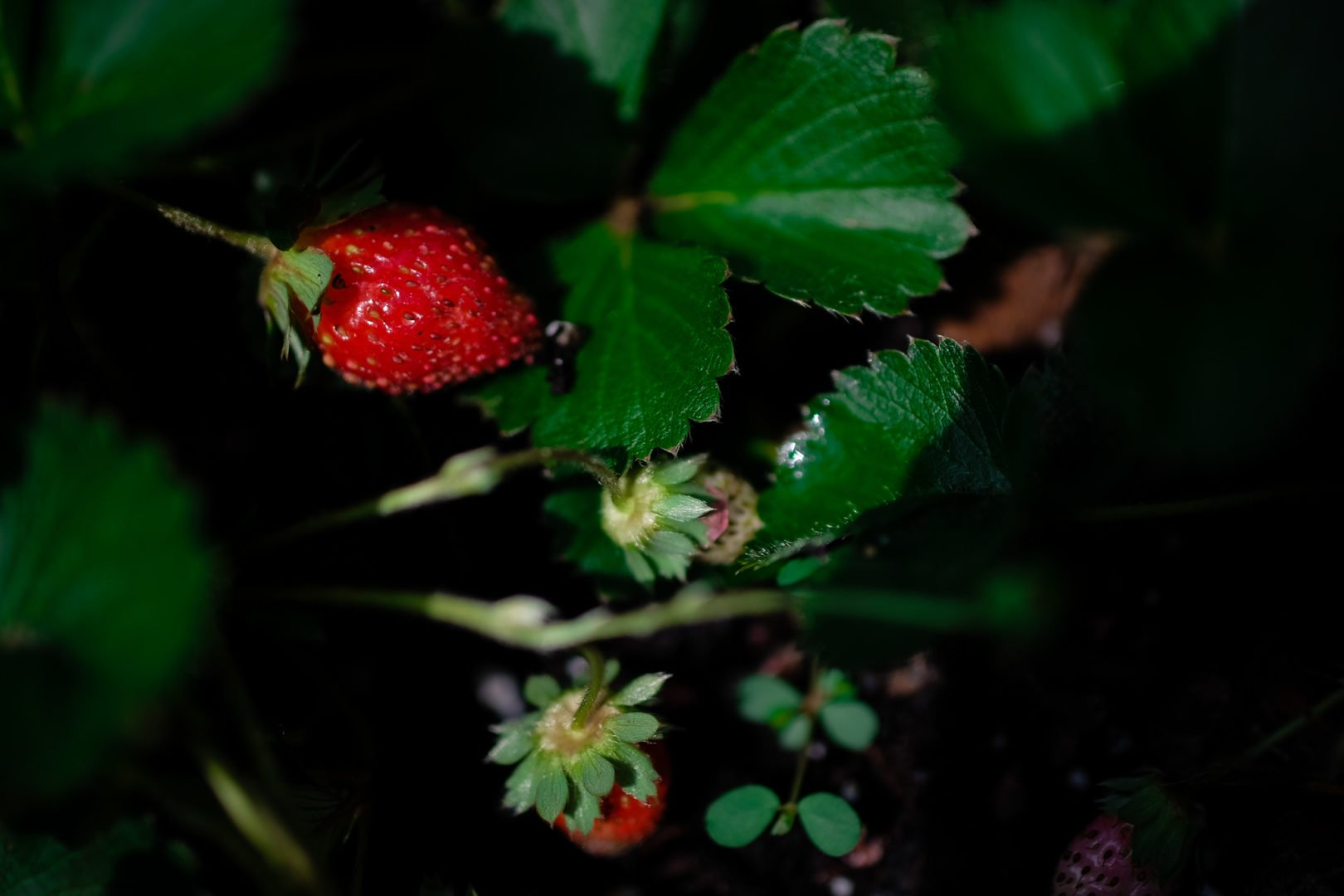 strawberry plant with some fruit