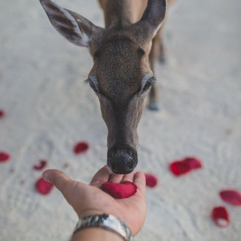 photo of key deer at little palm island