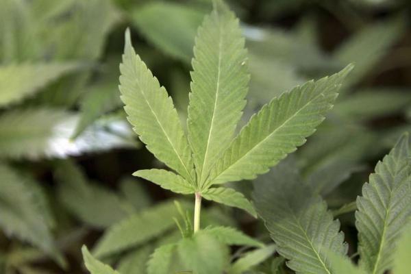 medical marijuana in the philippines