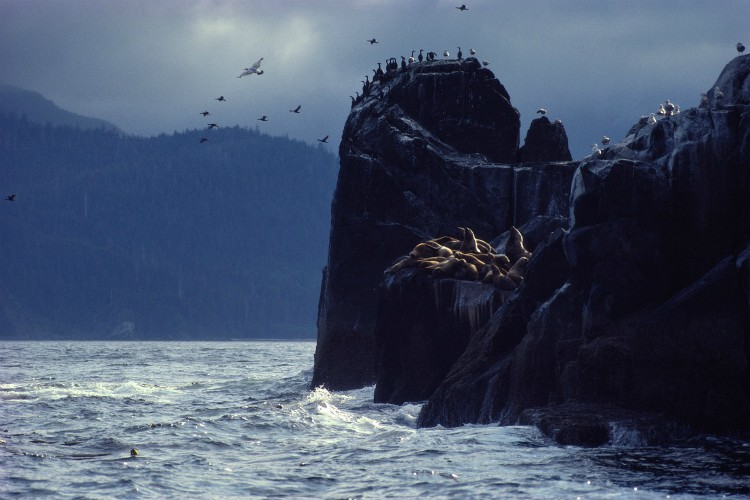British Columbia, Canada - Gulls and cormorants soar above basking sea lions along the shore. (SAM ABELL/National Geographic Creative)