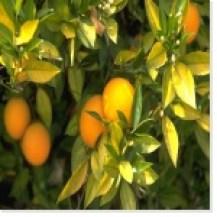 Fruits sur un arbre