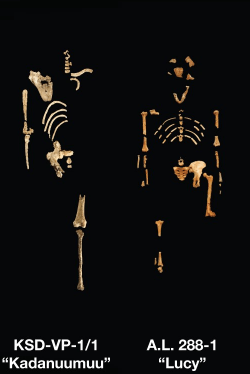 Sexual dimorphism in Australopithecus fossils
