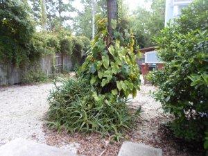 aloe and big leaves