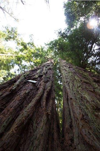 Sequoia Gemella