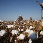 Mali: vers une baisse éventuelle de la production cotonnière