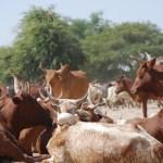 Mauritanie : l'élevage pèse 10% du PIB