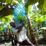 Cameroun: baisse des exportations de bananes
