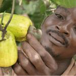 Sénégal: Une interprofession pour la restructuration de la filière anacarde
