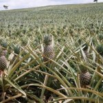 Injaro investit dans la filière de l'ananas au Ghana