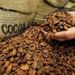 Cacao : le déficit du marché international revu à la hausse, à 212 000 tonnes
