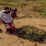 Mauritanie: vive inquiétude des paysans de Kaédi