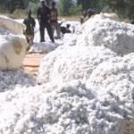 Tchad/Coton: l'Etat tente de sauver la production