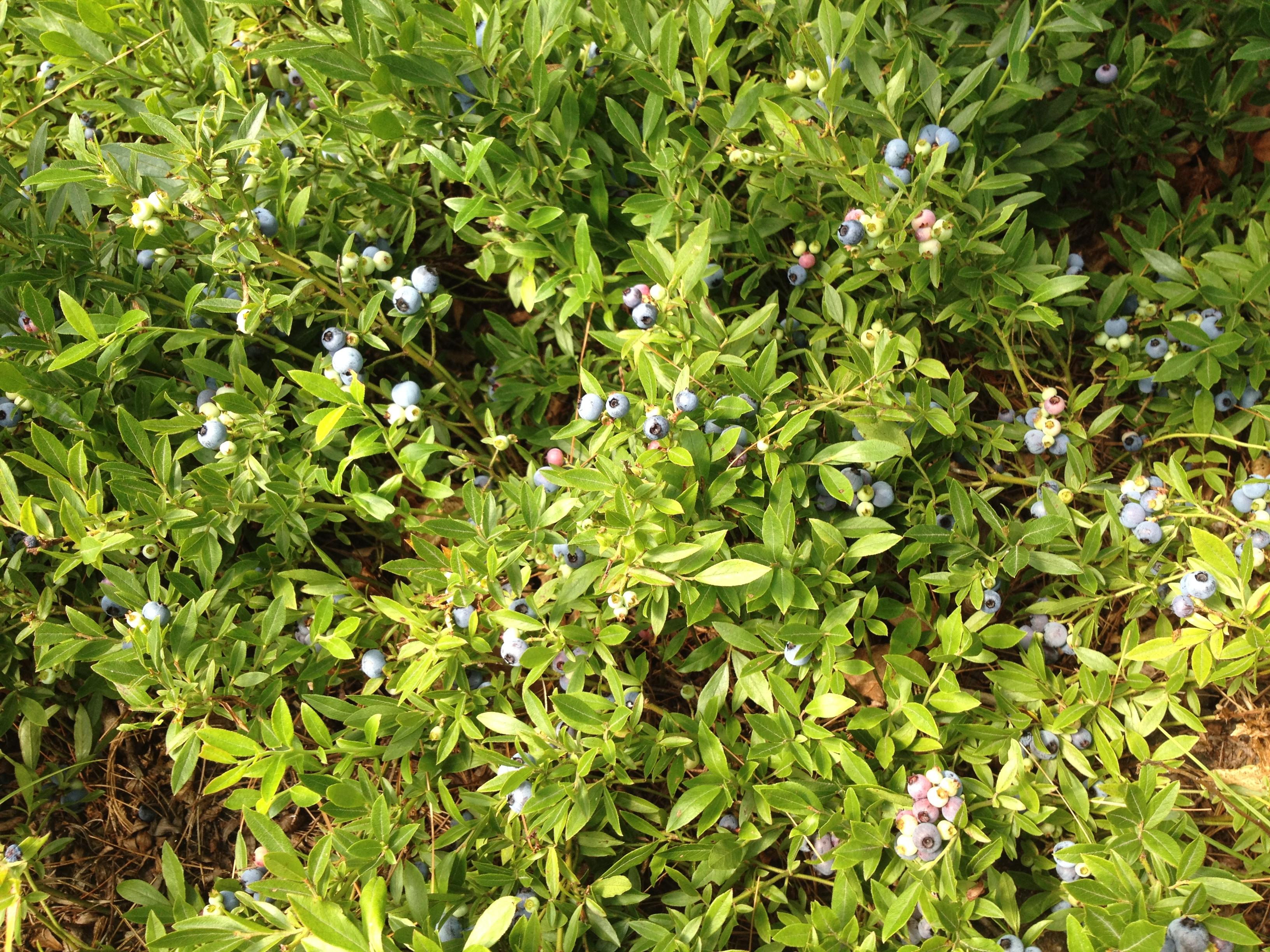 low brush blueberries