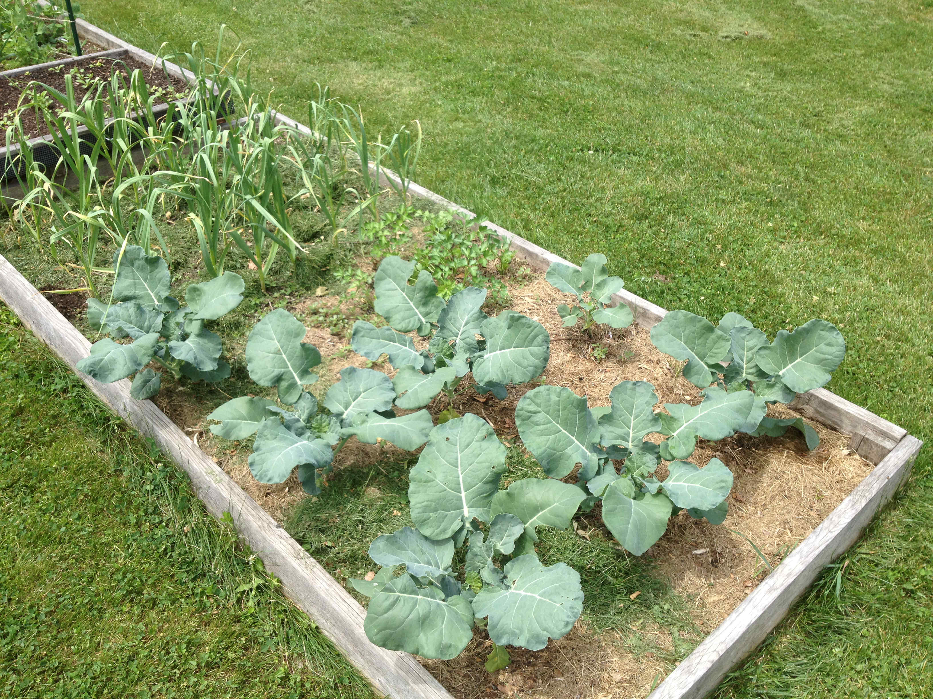 broccoli bed
