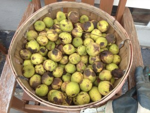 Preserving Black Walnuts