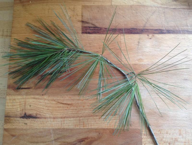 White pine cluster