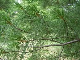 white-pine-branch