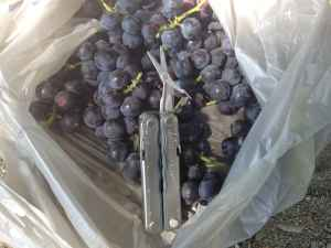 How to Make and Can Wild Concord Grape Jam