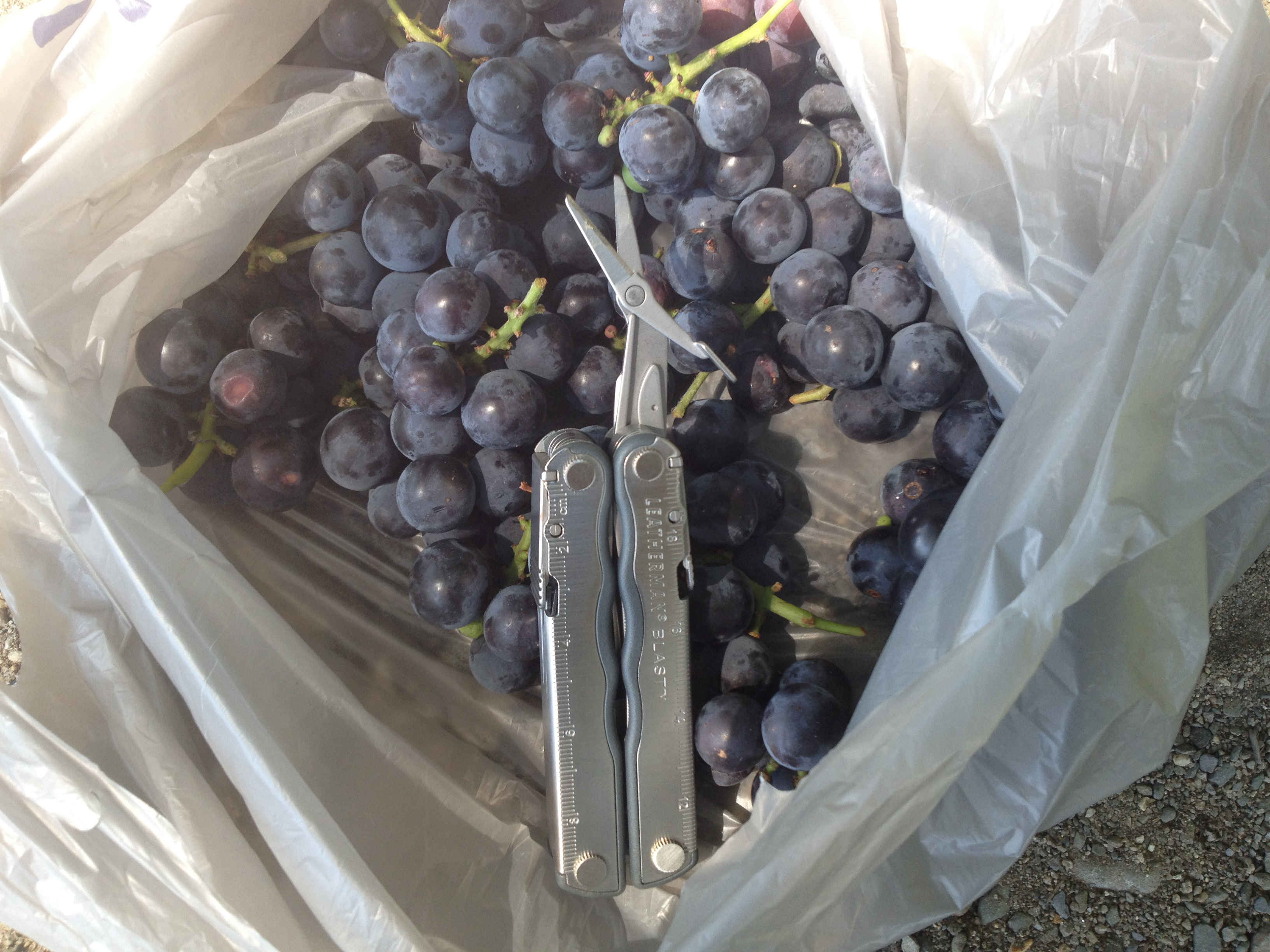 bag wild grapes