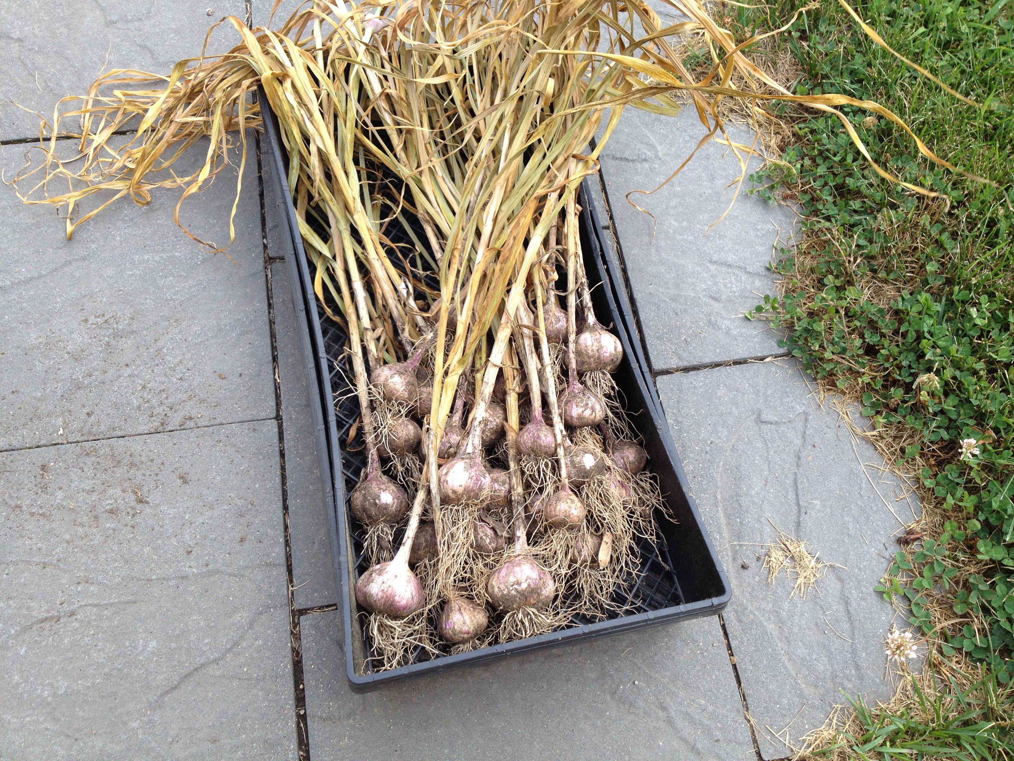 Garlic stocks