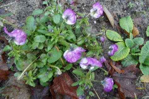 Stiefmütterchen mit lila Blüten