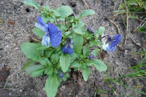 Stiefmütterchen mit blauen Blüten