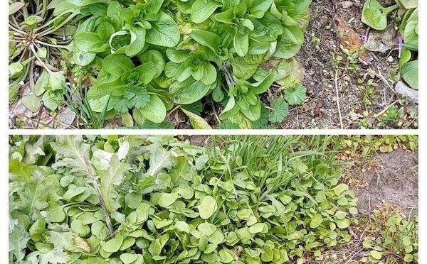 Mittwoch ist Pestotag – Feldsalat-Vogelmiere-Pesto