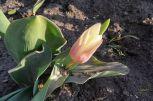 Tulpe weiß-rot